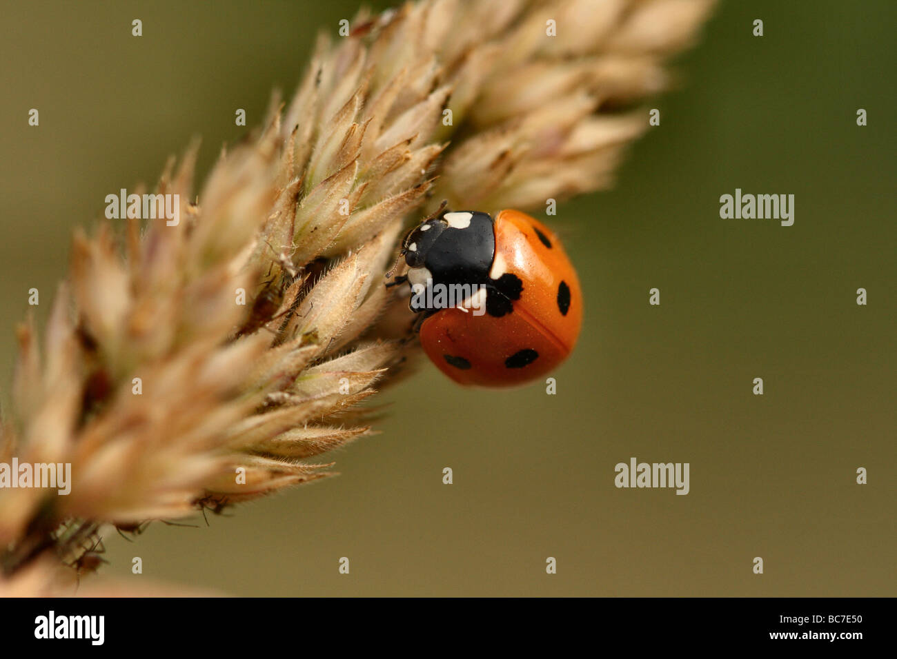 7 Spot Ladybird Coccinella 7-punctata face detail at 1:1 macro Canon 100 mm Macro Family Coccinellidae - Stock Image