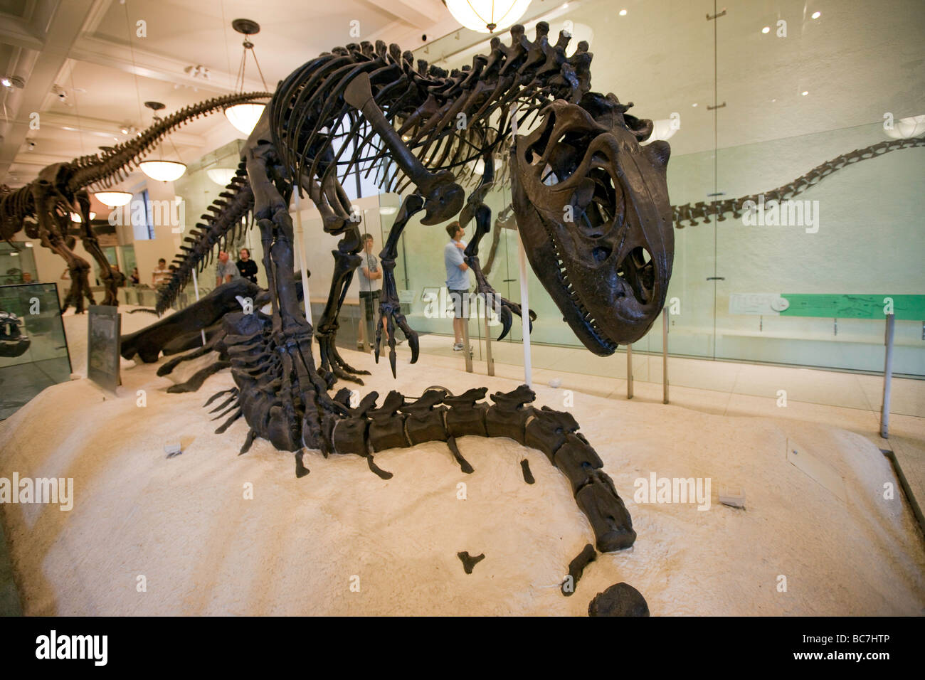 Allosaurus at the Dinosaur Exhibit Museum of Natural History NYC - Stock Image