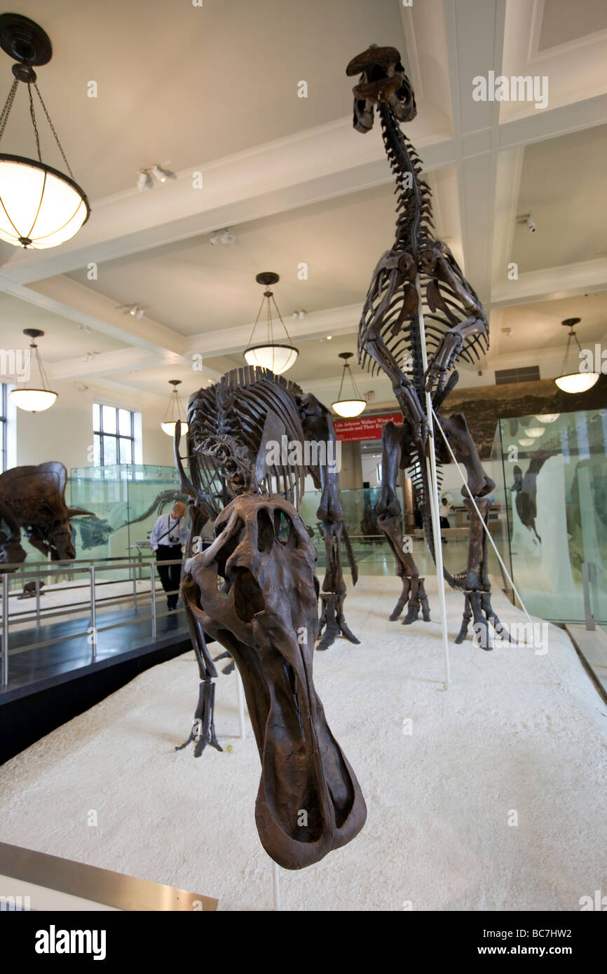 Hadrosauridae Fossils aka the Duck billed Dinosaurs Museum of Natural History NYC - Stock Image