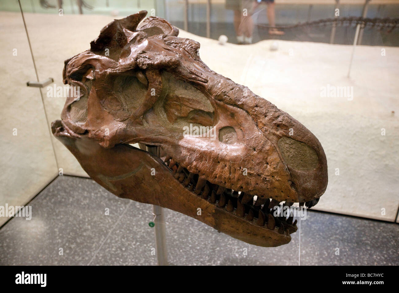 T Rex Skull Museum of Natural History NYC - Stock Image