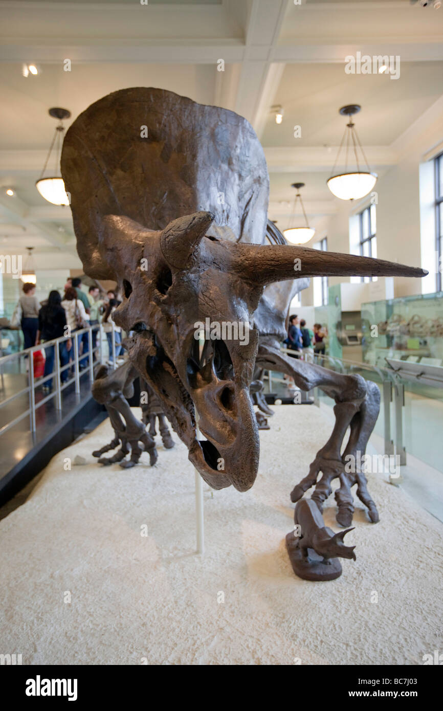 Triceratops Horned Dinosaur Fossil Museum of Natural History NYC - Stock Image