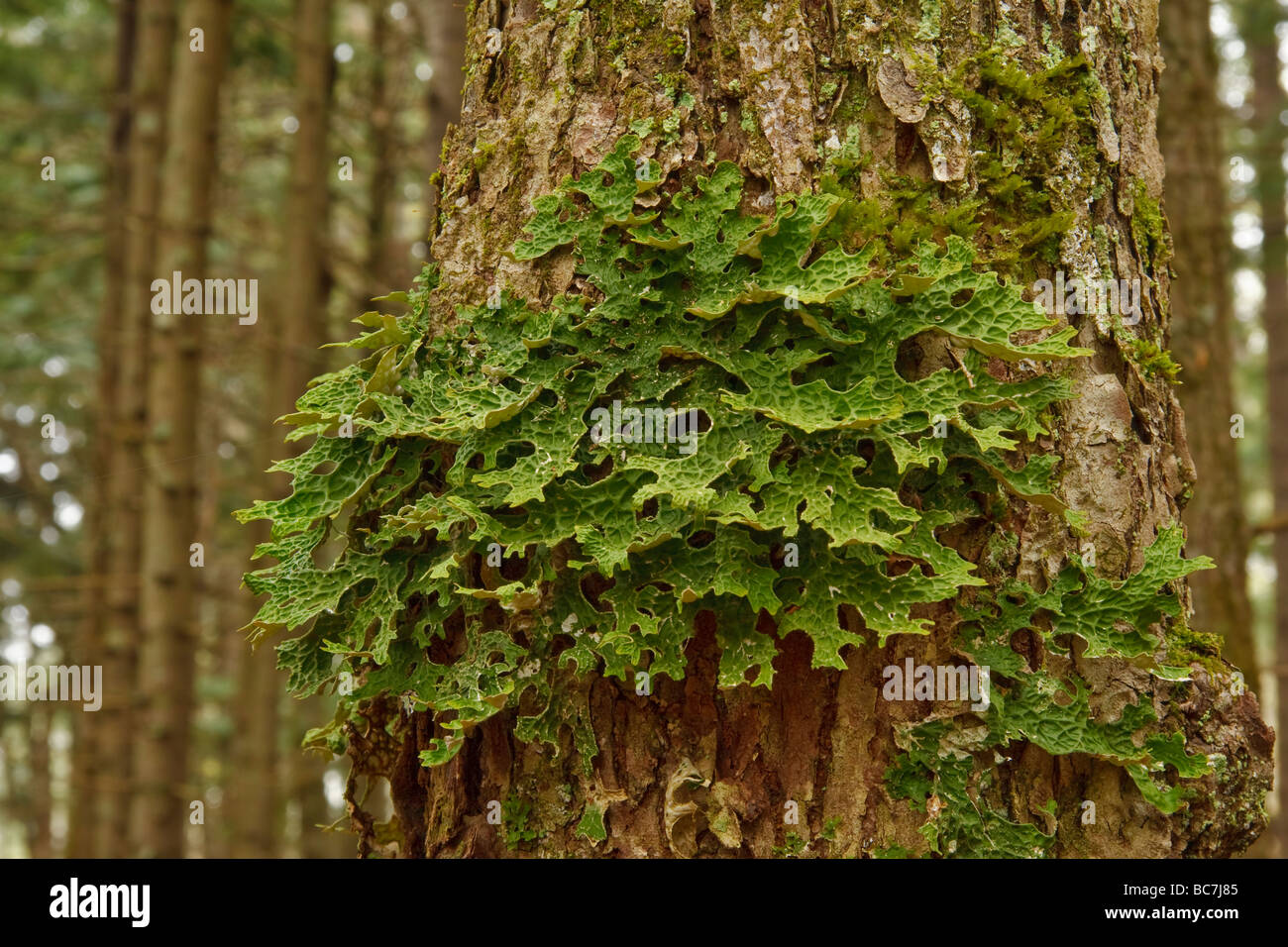 Lobaria pulmonaria lichen fungus consisting of an ascomycete fungus and a green algae - Stock Image