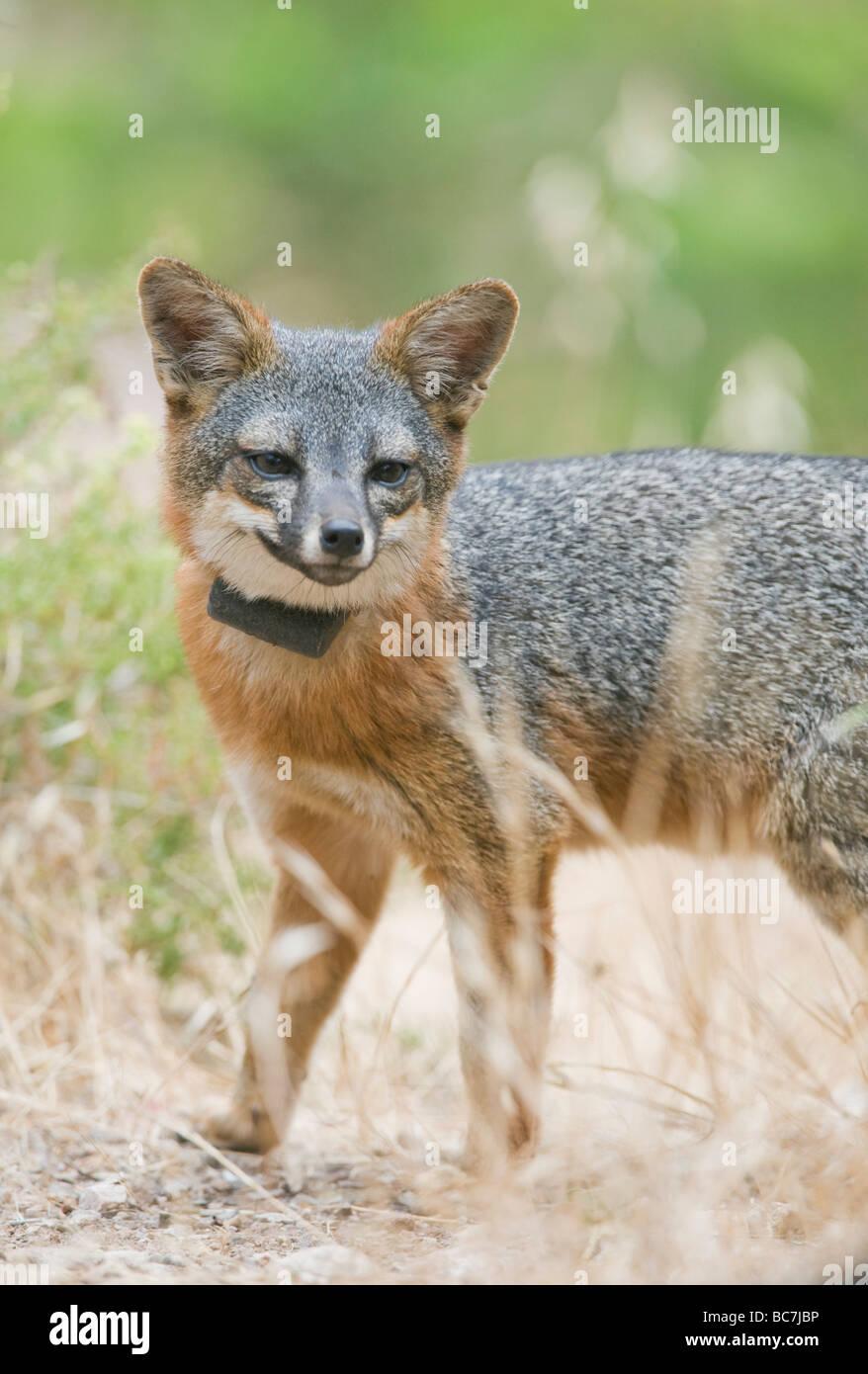 Island Fox  (Urocyon littoralis), ENDANGERED,  Santa Cruz Island, Channel islands National Park, California ENDEMIC - Stock Image