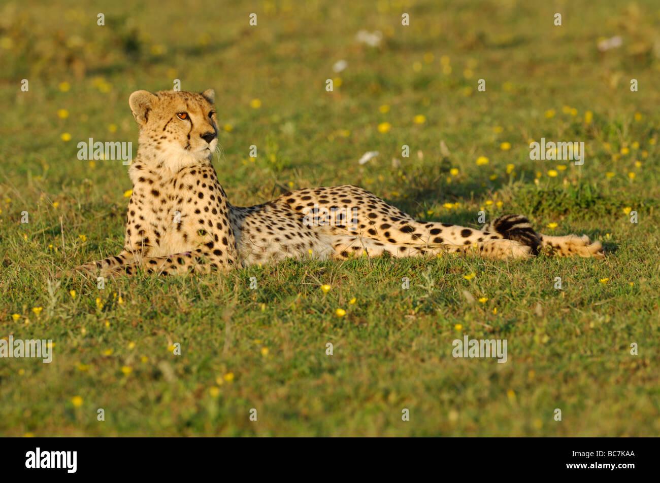 short paragraph on cheetah