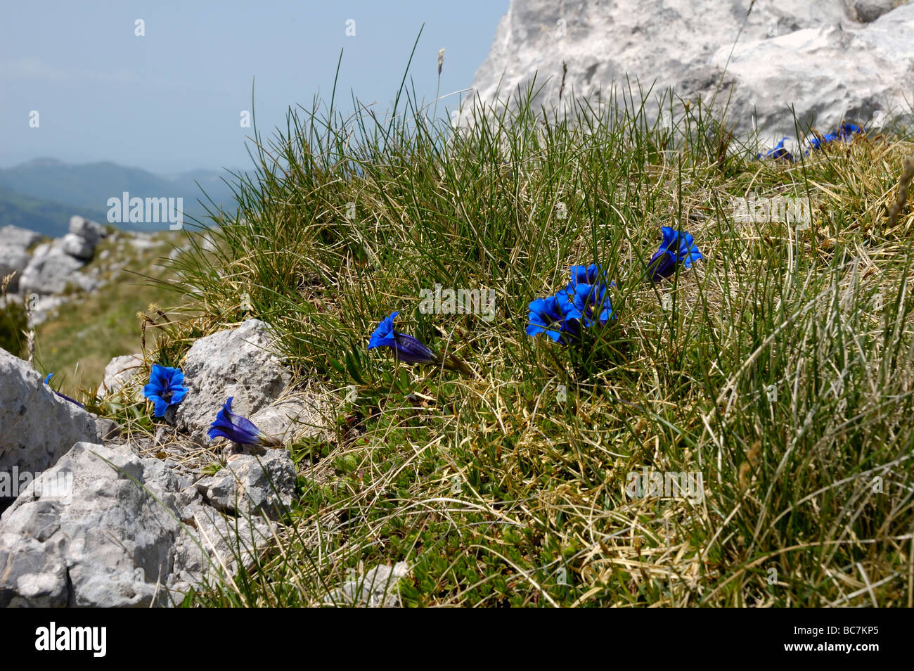 Gentians on mountainside - Stock Image