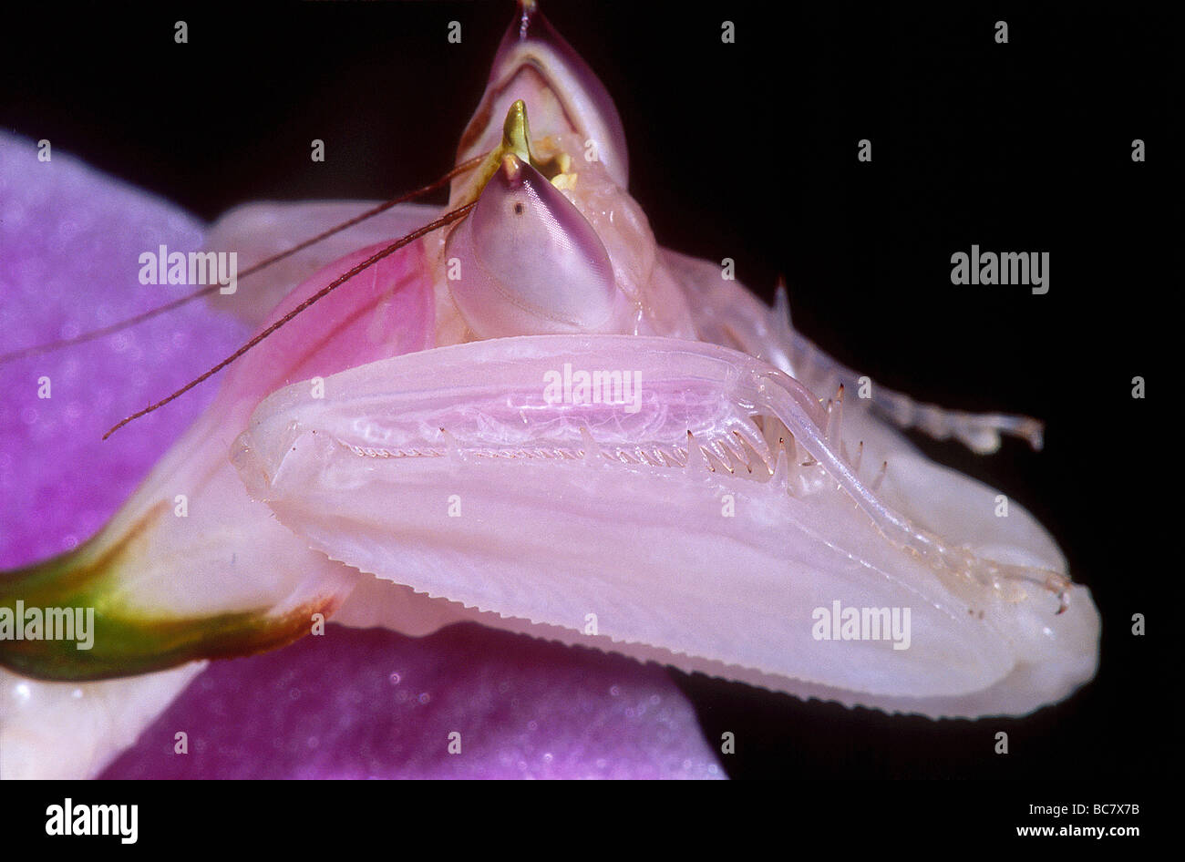 Orchid Mantis Hymenopus Coronatus Hidden In The Flower Of A Pink