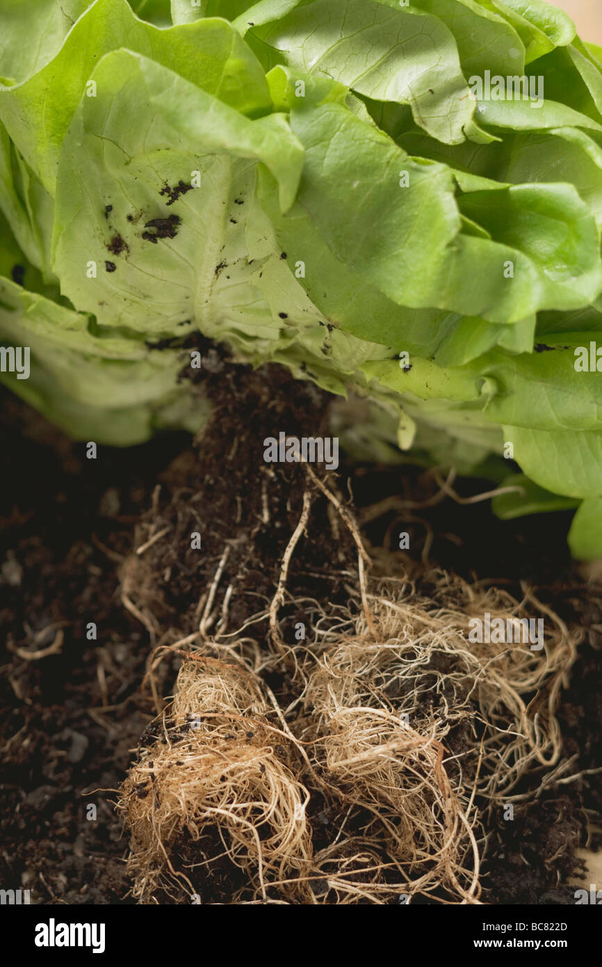 Lettuce plant with roots and soil Stock Photo: 24763493 - Alamy