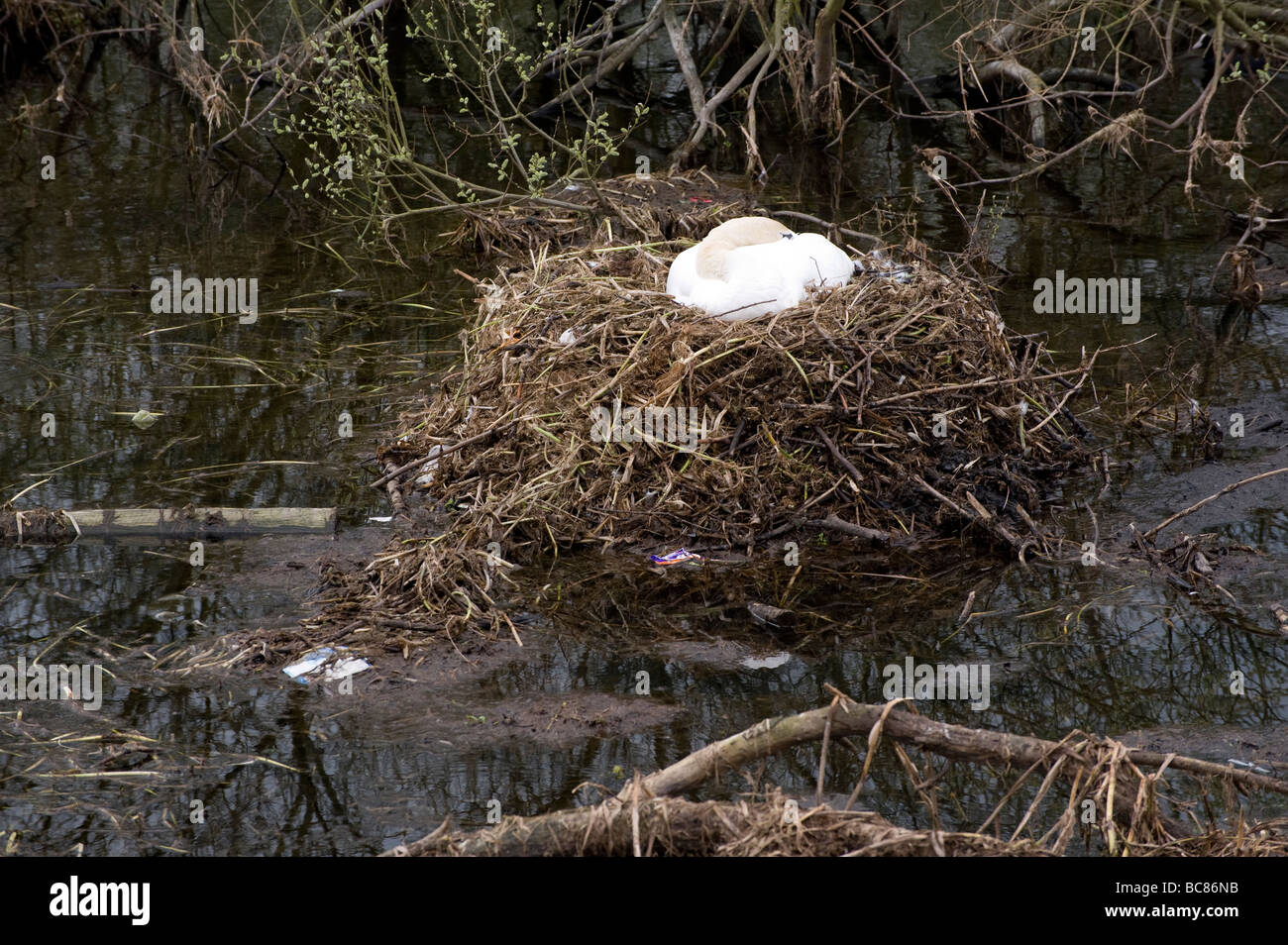 Mute Swan on nest incubating eggs whilst surrounded by river pollution Stock Photo