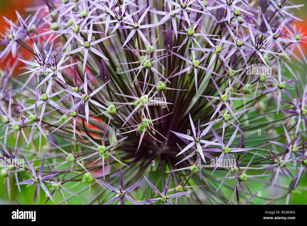 Allium Christophii flower. Star of Persia Stock Photo