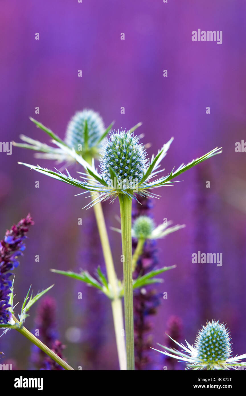 Eryngium x zabelii 'Jos Eijking'. Sea holly flowers planted with violet sage plants in a garden border at - Stock Image