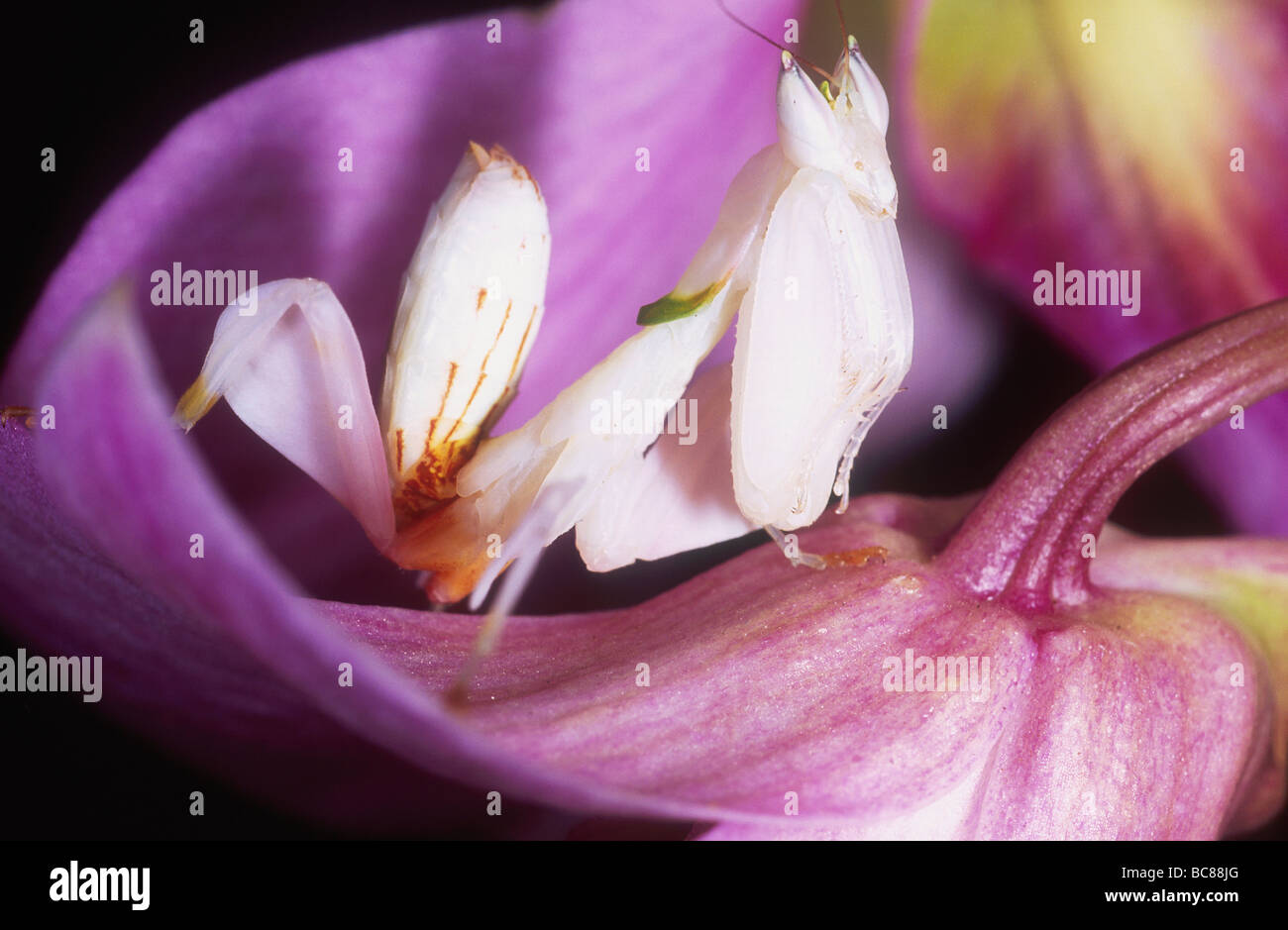 Pink Orchid Mantis Stock Photos Pink Orchid Mantis Stock Images