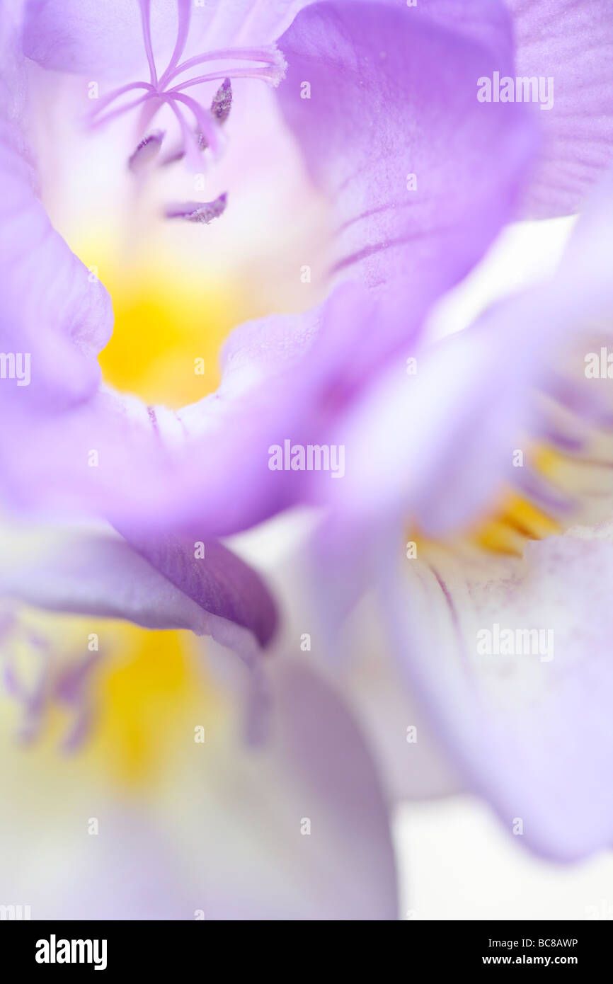 delicately fragranced mauve freesia soft ethereal fine art photography - Stock Image