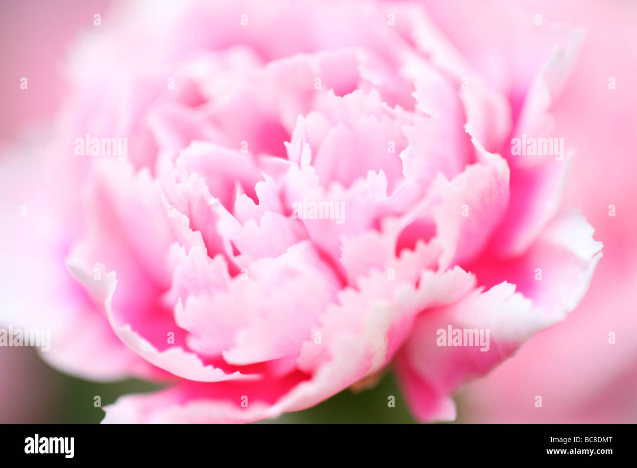 pink carnation fresh alluring charming full bloom fine art photography - Stock Image