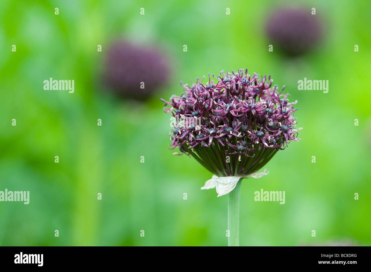 Allium atropurpureum. Ornamental onion flower - Stock Image