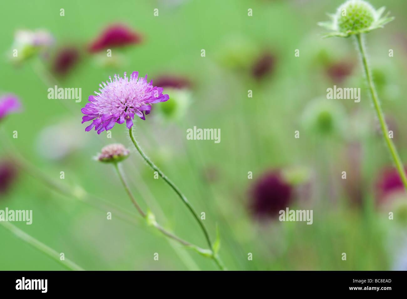 Knautia Macedonica 'Melton Pastels' . Macedonian scabious 'Melton pastels' flowers in a garden border - Stock Image