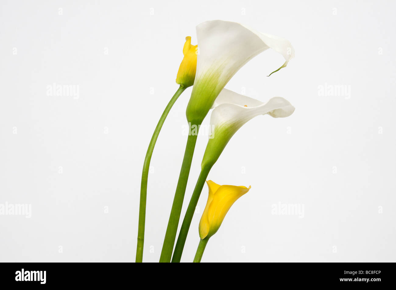 White arums in studio. Flowers. - Stock Image