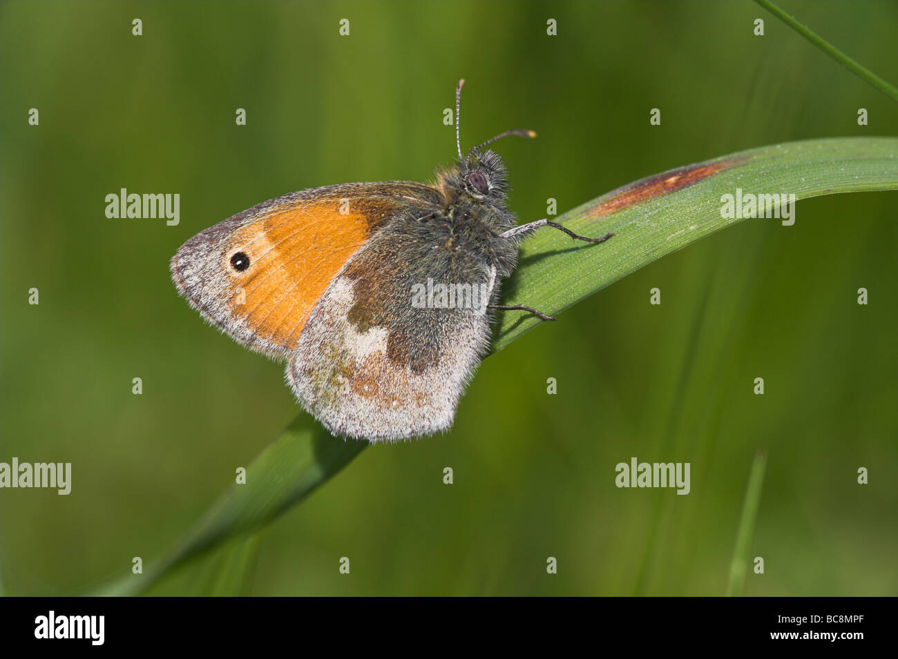 Small Heath Coenonympha pamphilus roosting on grass stem at Priddy Mineries, Somerset in June. - Stock Image