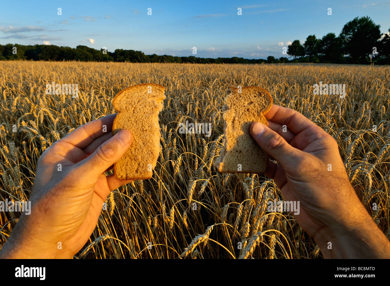 Hands Holding Wheat Bread in Wheat Field - Stock Image