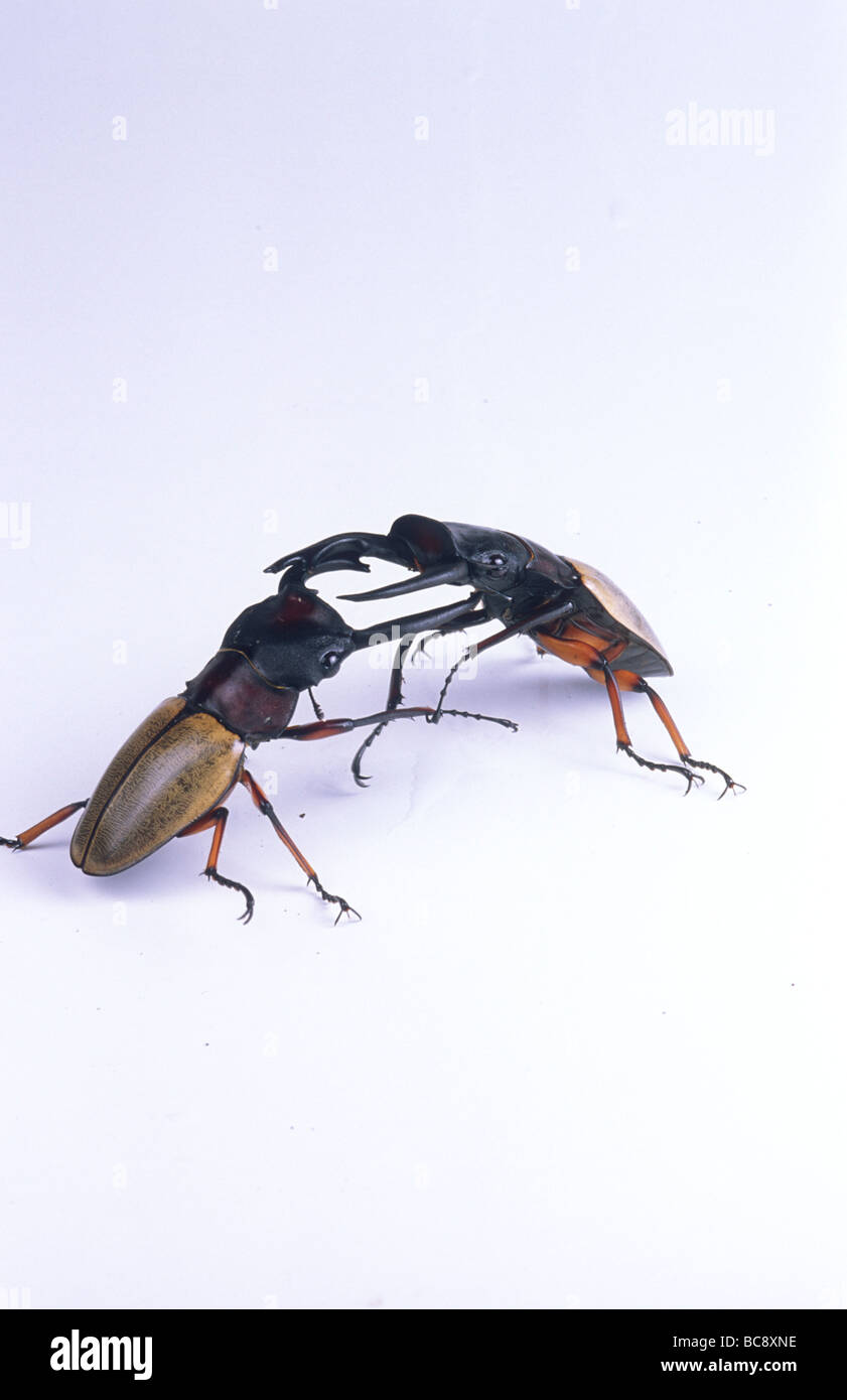 Two Coconut Stag Beetles, Odontolabis femoralis, fighting - Stock Image
