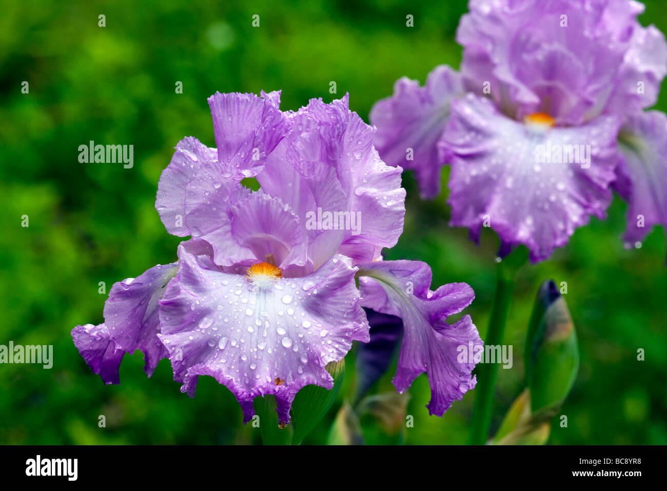 Purple iris flower after rain stock photo 24783676 alamy purple iris flower after rain izmirmasajfo