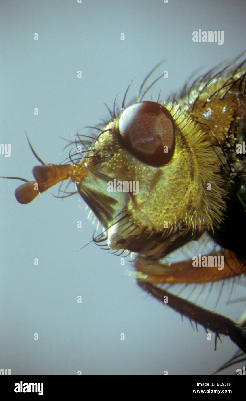 Head of a green fly showing it's mouth parts and compound eyes - Stock Image