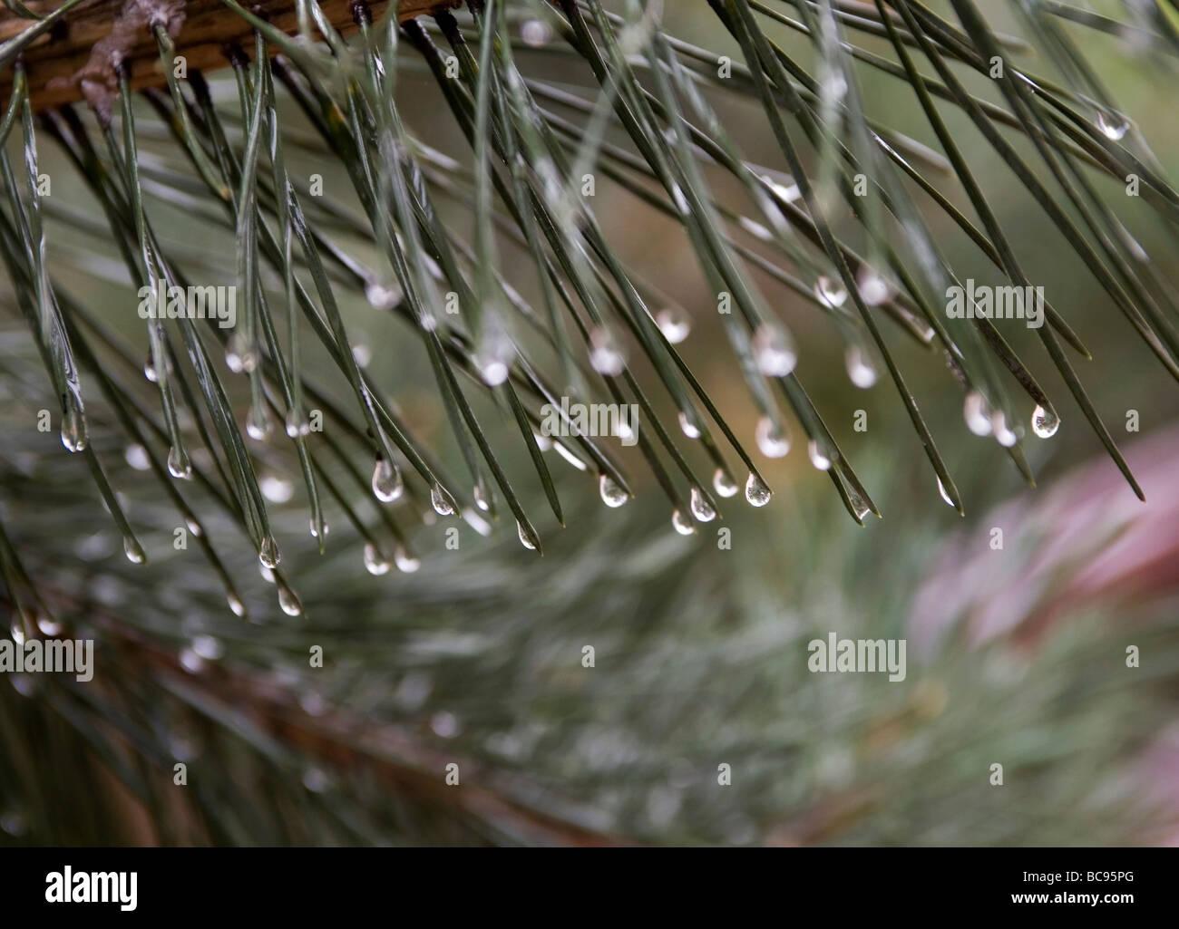 Spruce at rainy day - Stock Image