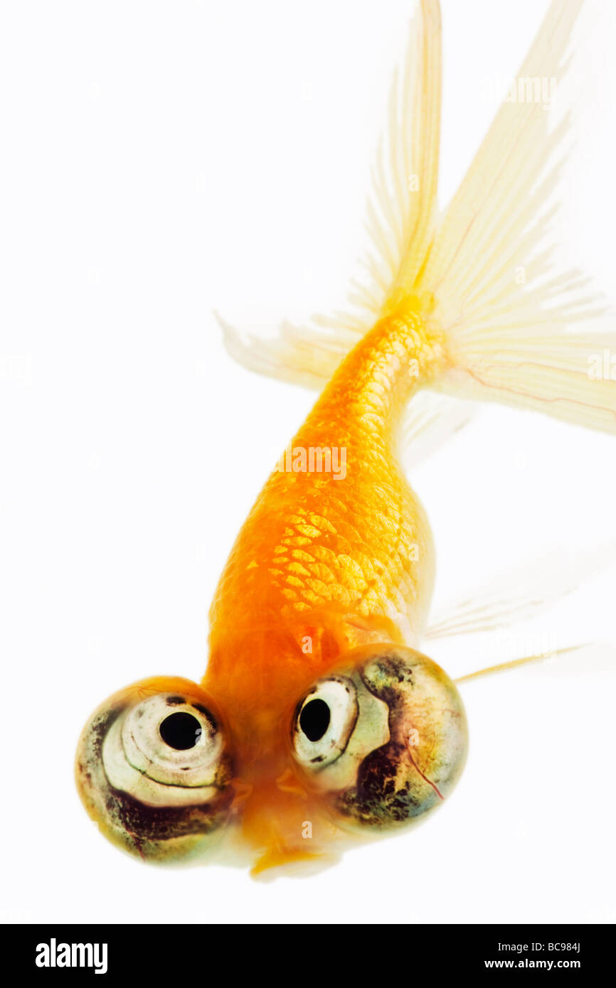 Celestial eyed gold fish Stock Photo