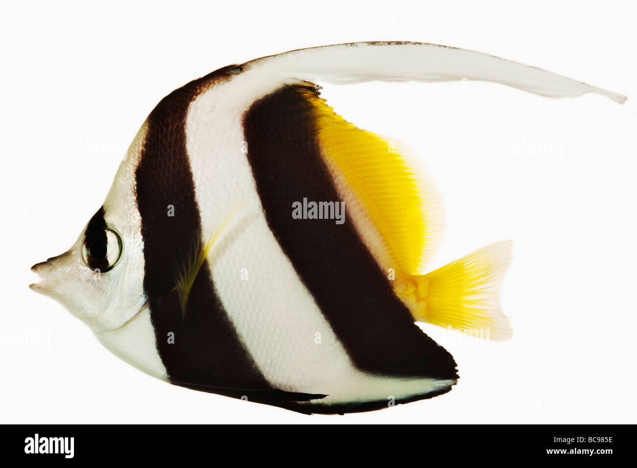 Long fin Banner fish Heniochus acuminatus Also known as Black and White Heniochus Butterfly Fish or Poor mans Moorish - Stock Image