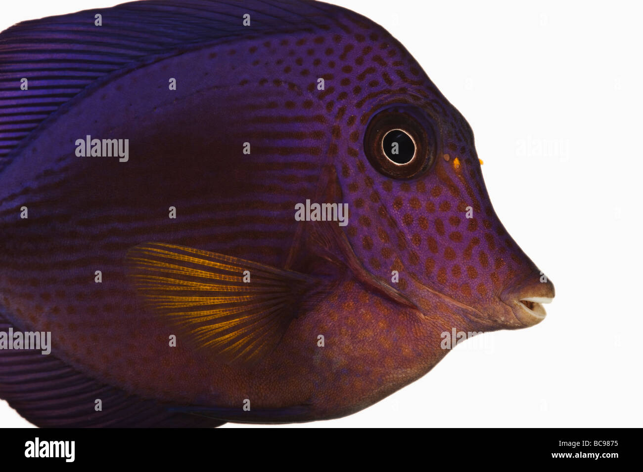 Purple tang fish Zebrasoma xanthurum Marine reef fish also known as Yellowtail Sailfin Tang Dist Red Sea Arabian - Stock Image