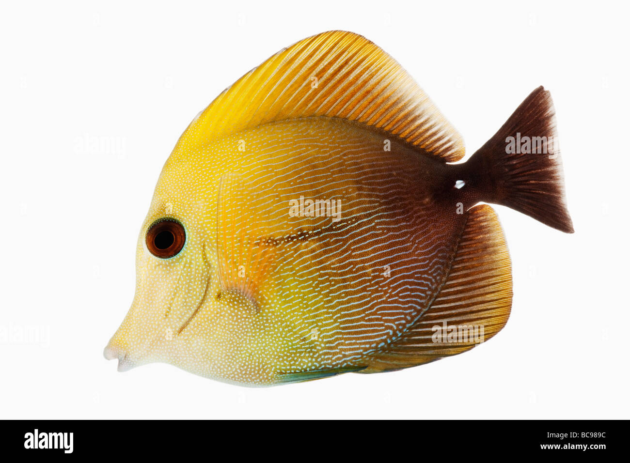 Brown tang fish marine reef fish also known as Brown Scopas Tang and Two Tone Sailfin Tang Dist Central and South Stock Photo