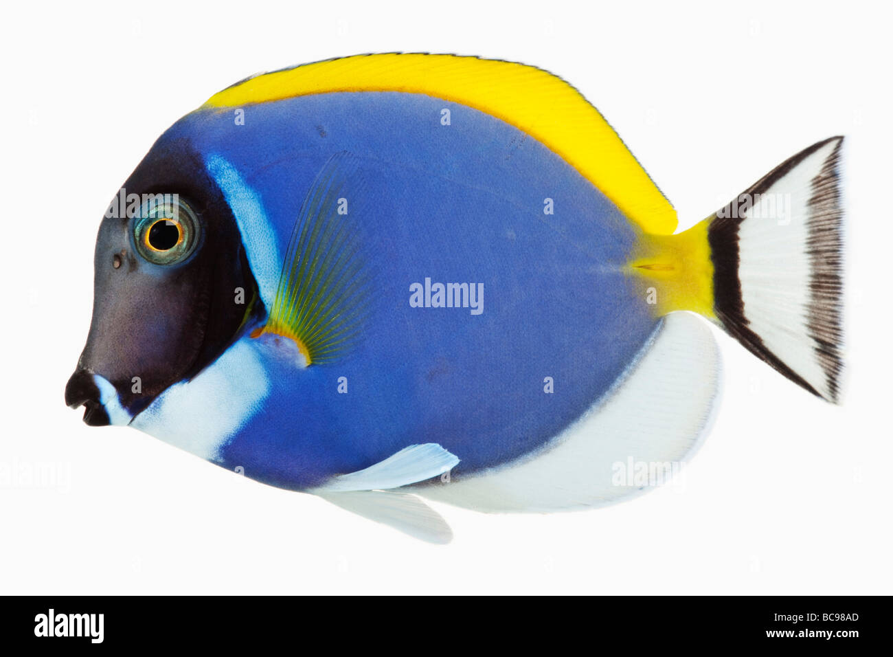 Powder blue tang Powder Blue Surgeon Fish Herbivorous tropical marine reef fish Dist Tropical Indo Pacific Studio - Stock Image