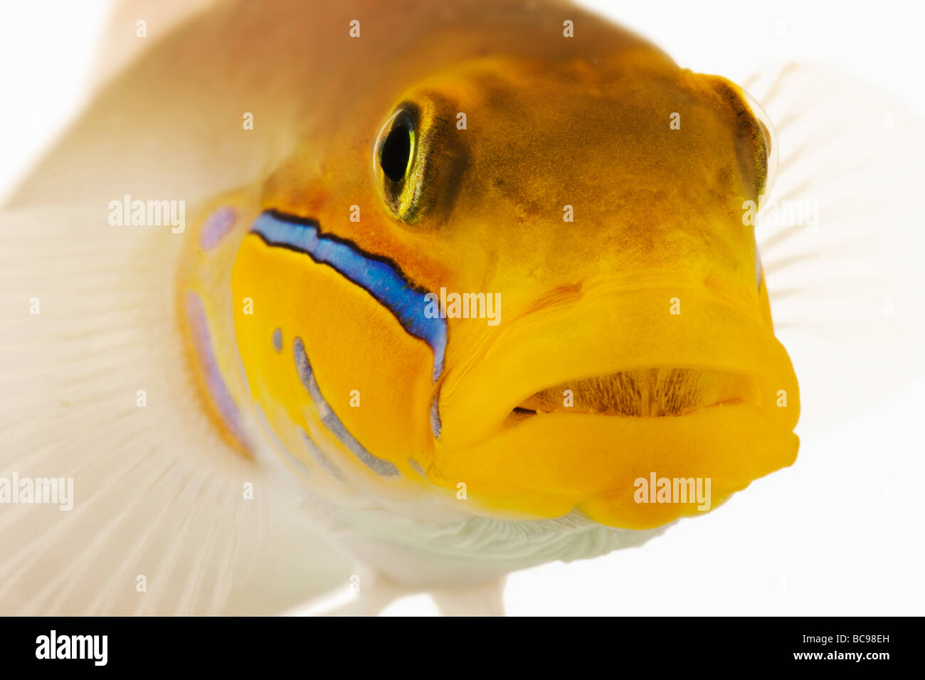Gold head goby marine fish Also known as Sleeper Gold Head Goby Blueband Goby Pennant Glider Pretty Prawn Distr - Stock Image