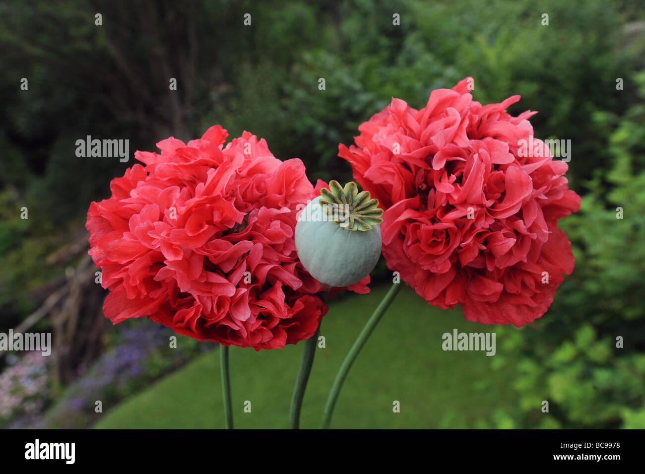Opium Poppy Flower Seed Head Stock Photos Opium Poppy Flower Seed