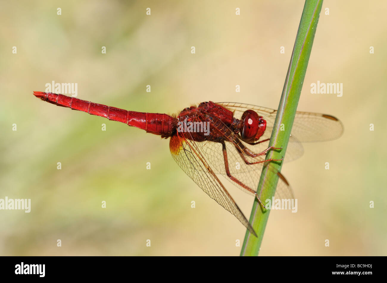 Scarlet Dragonfly  (Crocothemis erythraea), male Stock Photo