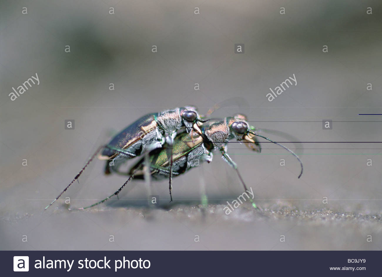 Two endangered Salt Creek Tiger Beetles mating. - Stock Image