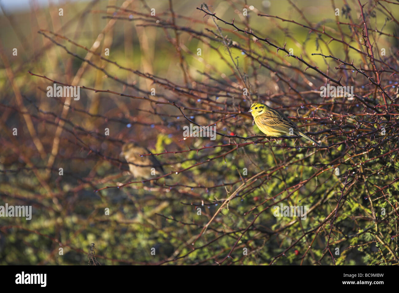 Yellowhammer Emberiza citrinella perched in bare bushes at Caerlaverock, Dumfries & Galloway in December. - Stock Image