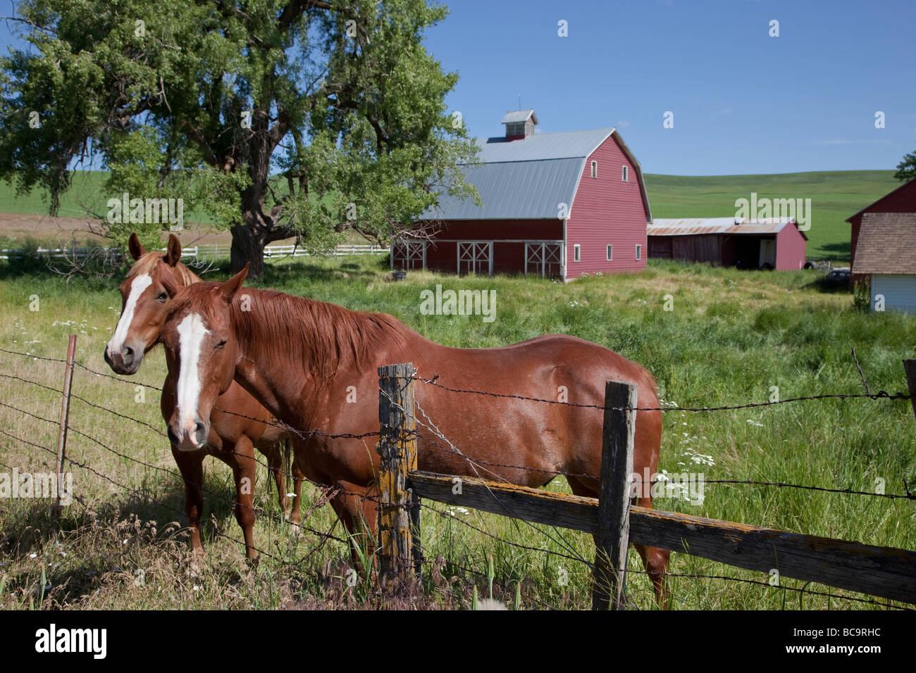 Near Pullman, Washington, in Palouse Country, Southeastern Washington State. Horses and Red Barn. Stock Photo