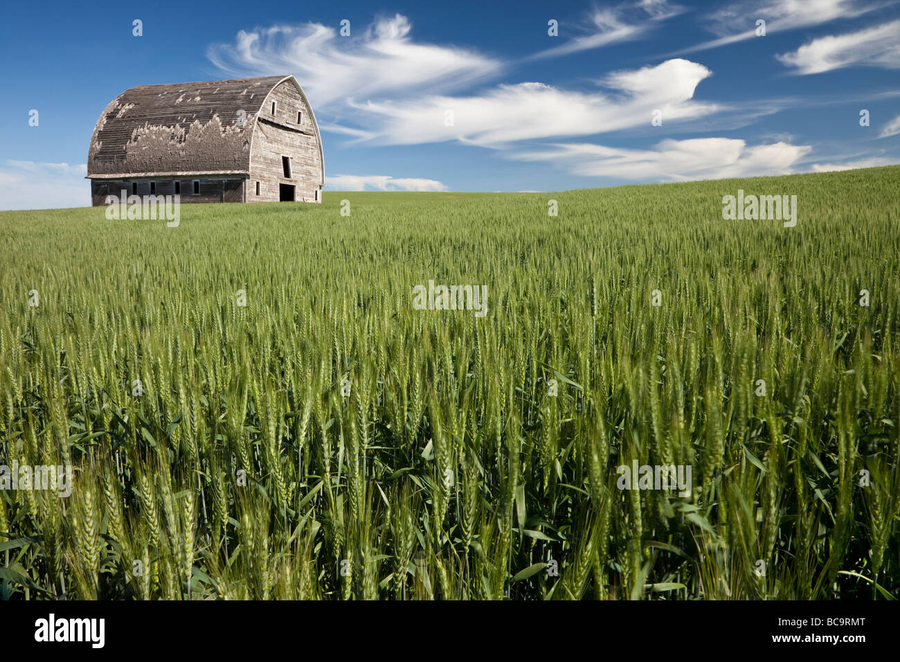 Whitman County, Palouse Country, Washington State. Old Barn in New Wheat Field. - Stock Image