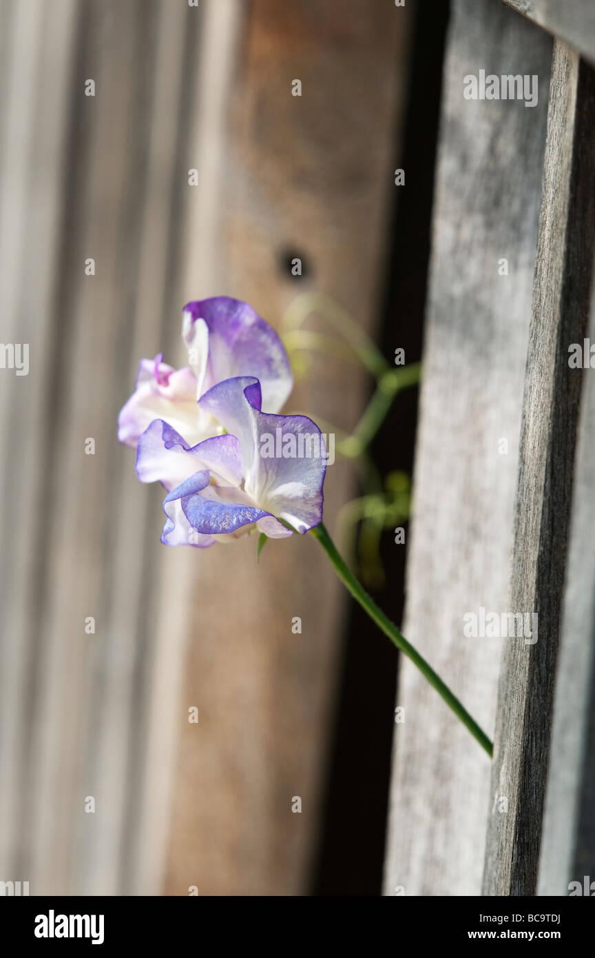 Lathyrus odoratus. Sweet pea 'Blue ripple' flowers poking through a garden bench - Stock Image