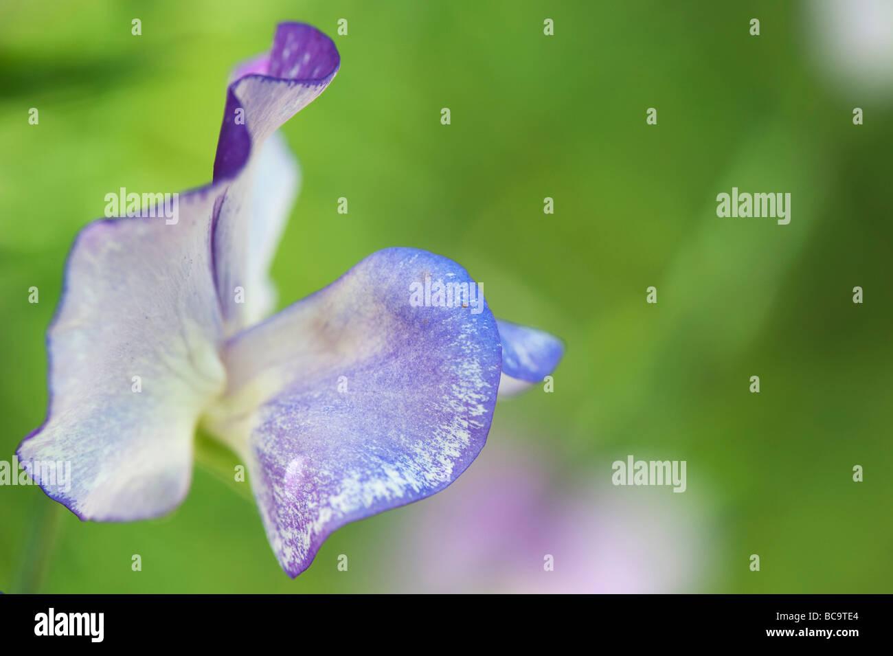 Lathyrus odoratus, Sweet pea 'Blue ripple' flower - Stock Image