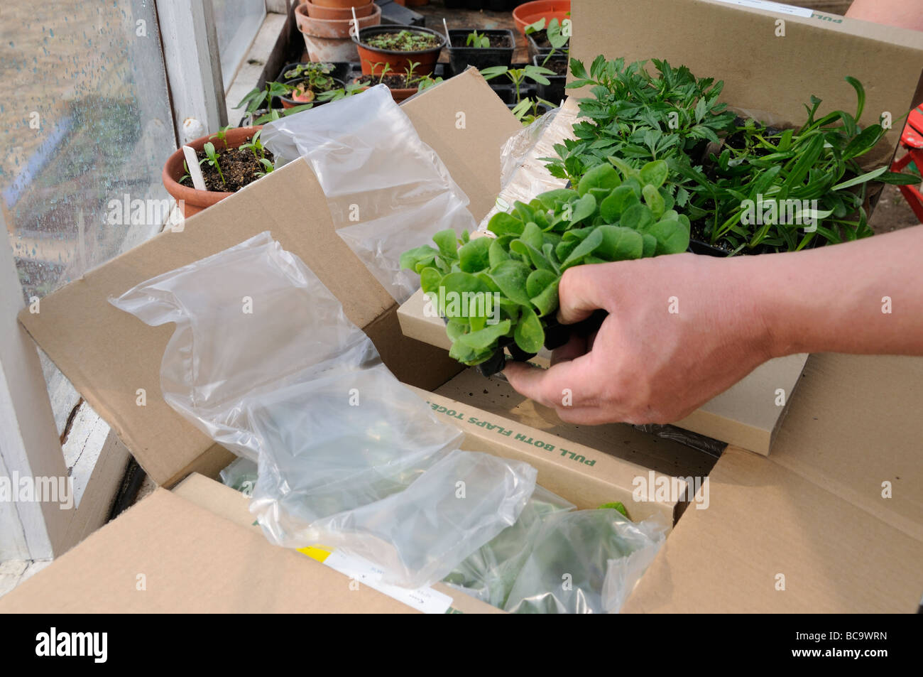 Opening Box Of Mail Order Bought Plants Showing Plug Plants And