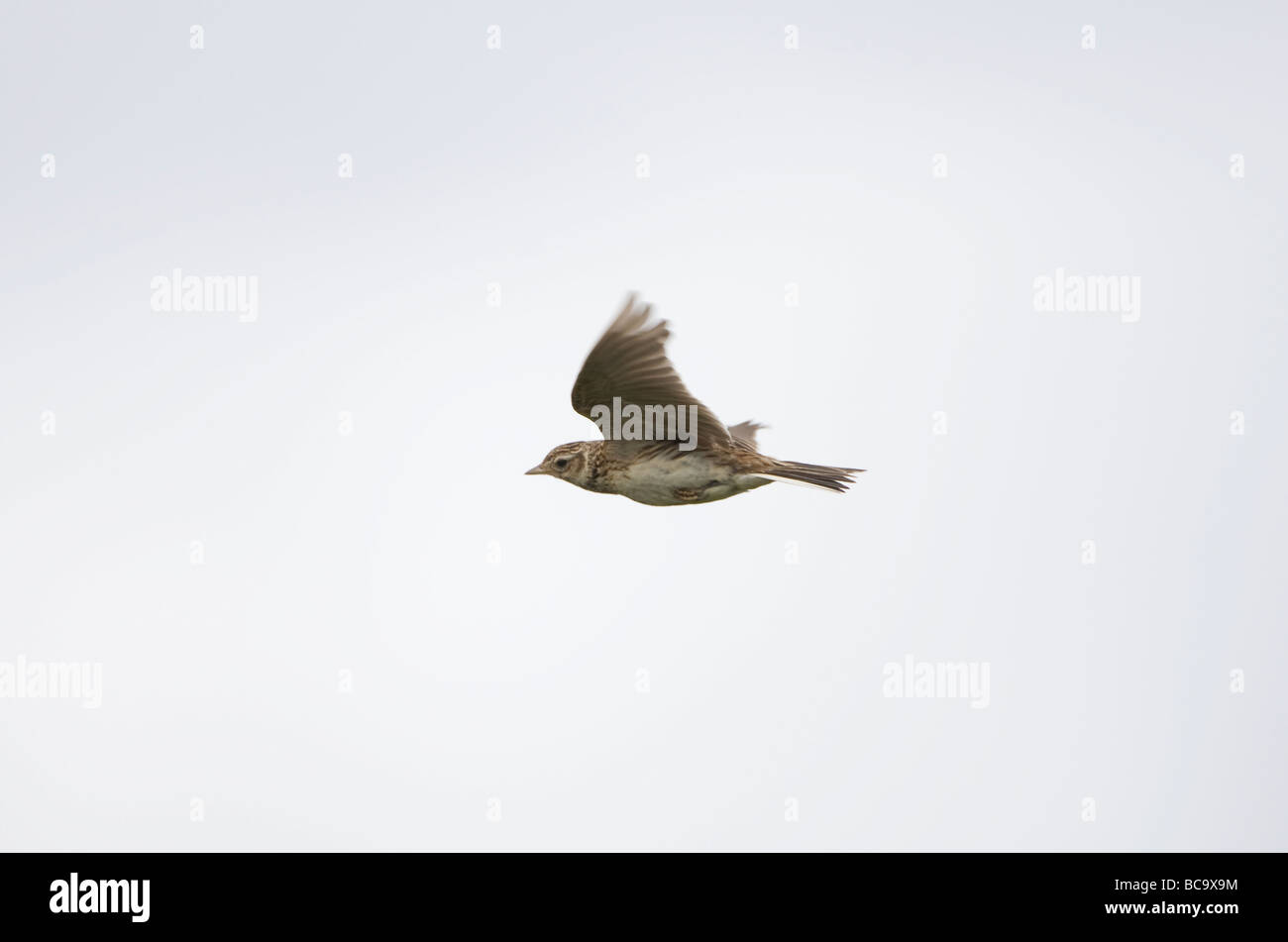 Common Skylark Alauda arvensis in flight - Stock Image