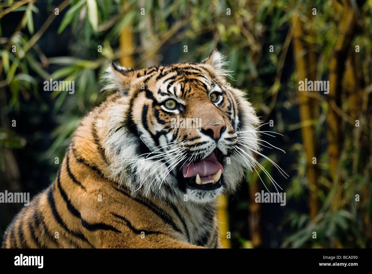 endandered species sumatran tiger - Stock Image