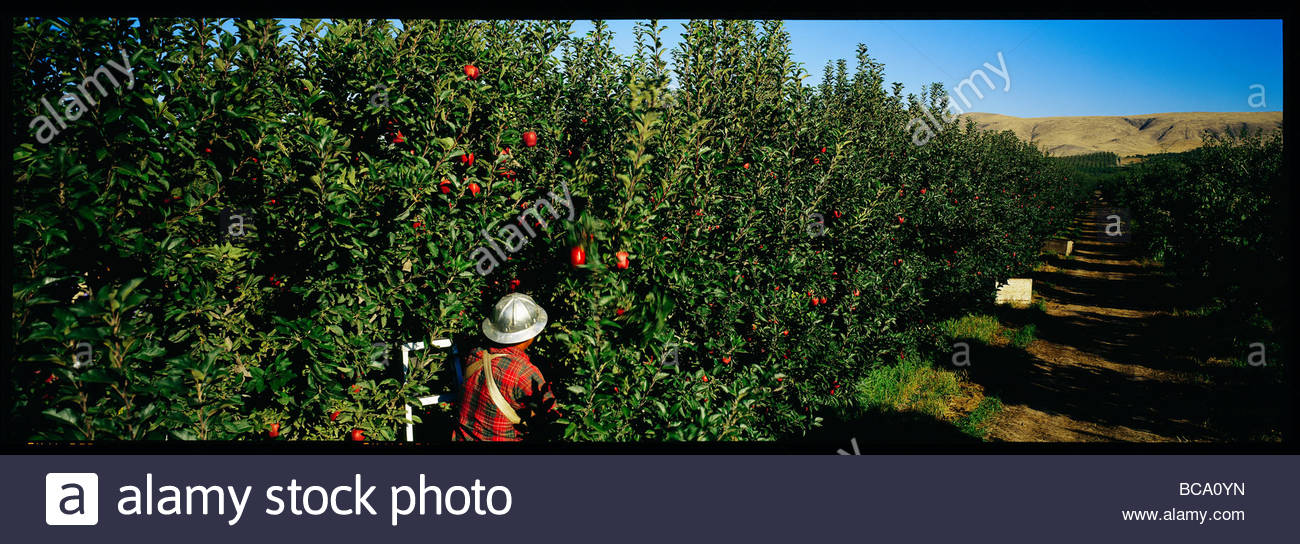 Panoramic view of a person picking apples in an orchard. Stock Photo