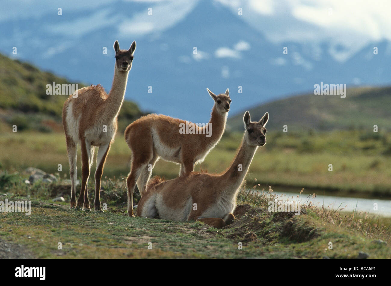 Lama Guanicoe with young animals, Torres del Paine National Park, Andes, Patagonia, Chile - Stock Image