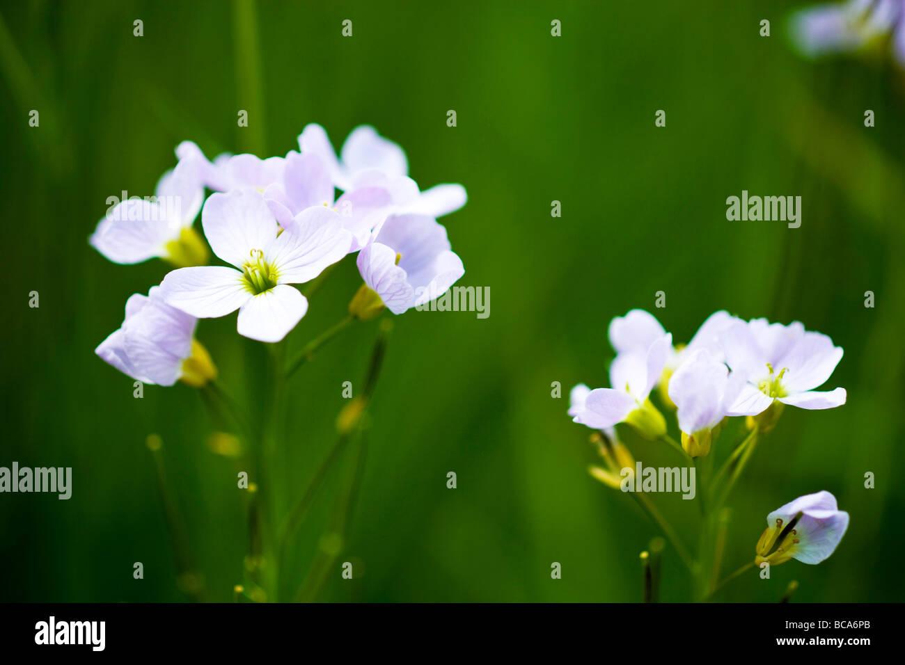Mayflower or cuckoo flower Stock Photo
