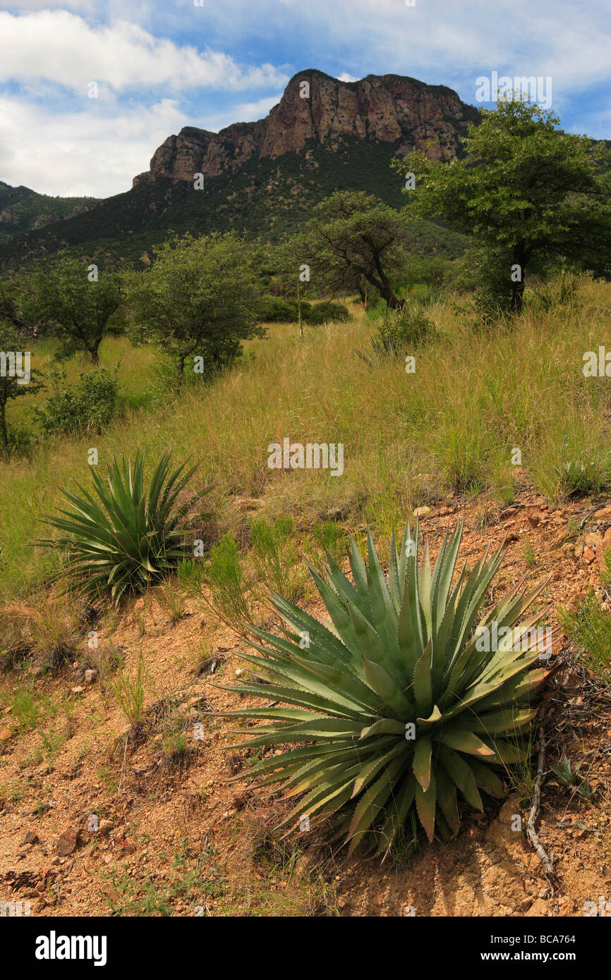 A view of the tallis slopes and agaves. - Stock Image