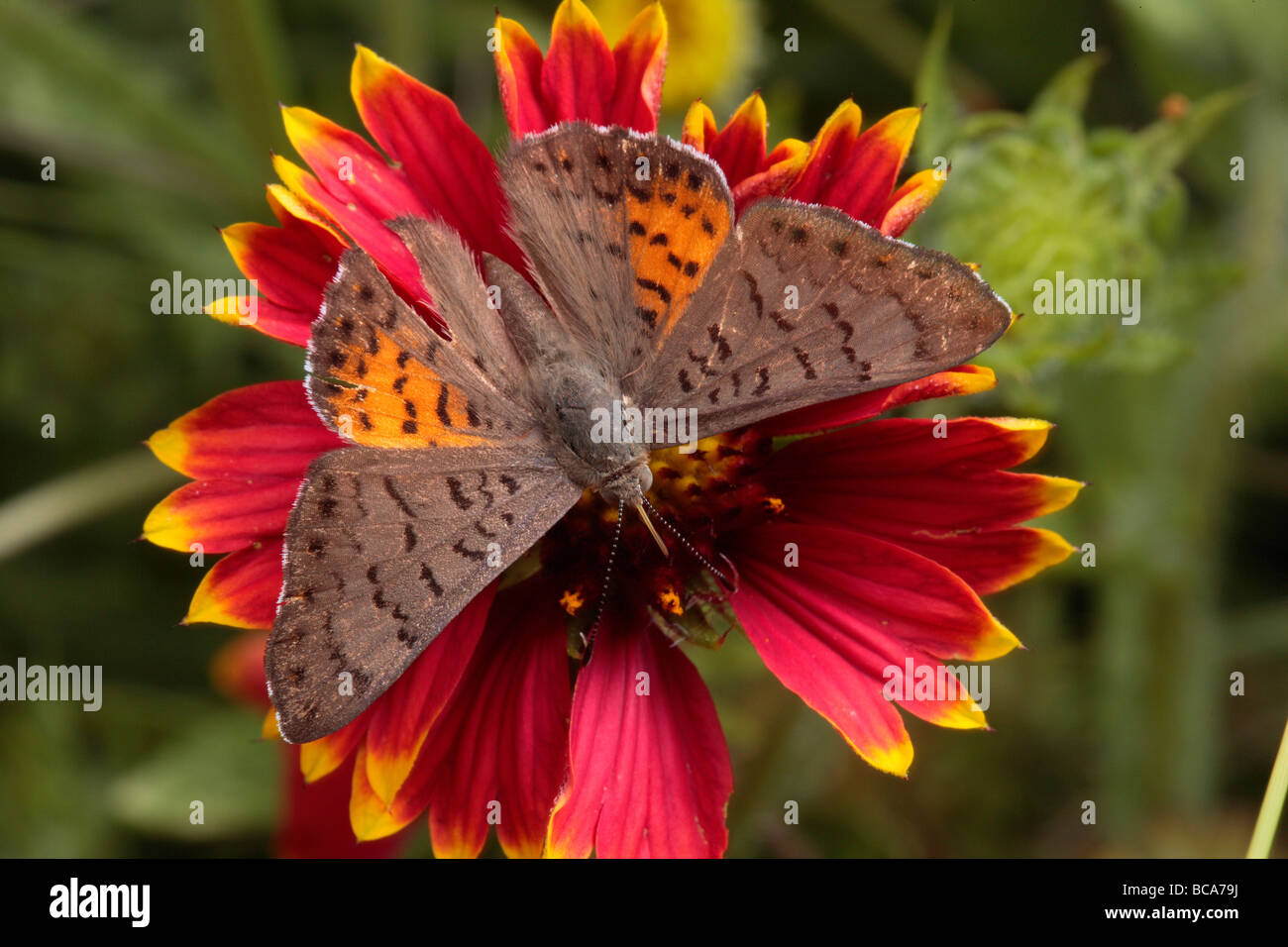 An ares metalmark feeds on a flower - Stock Image