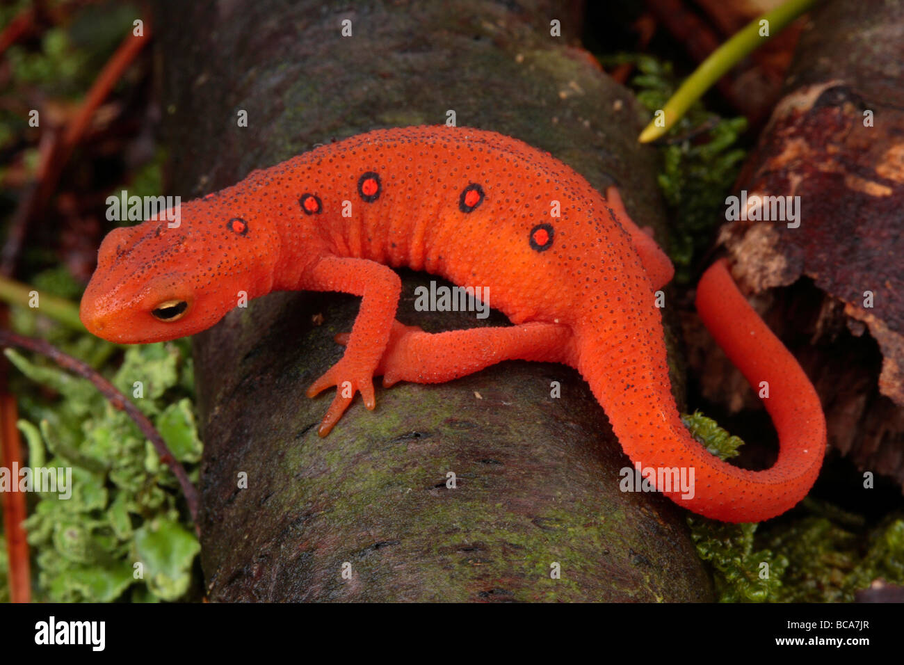 Image result for images of red efts