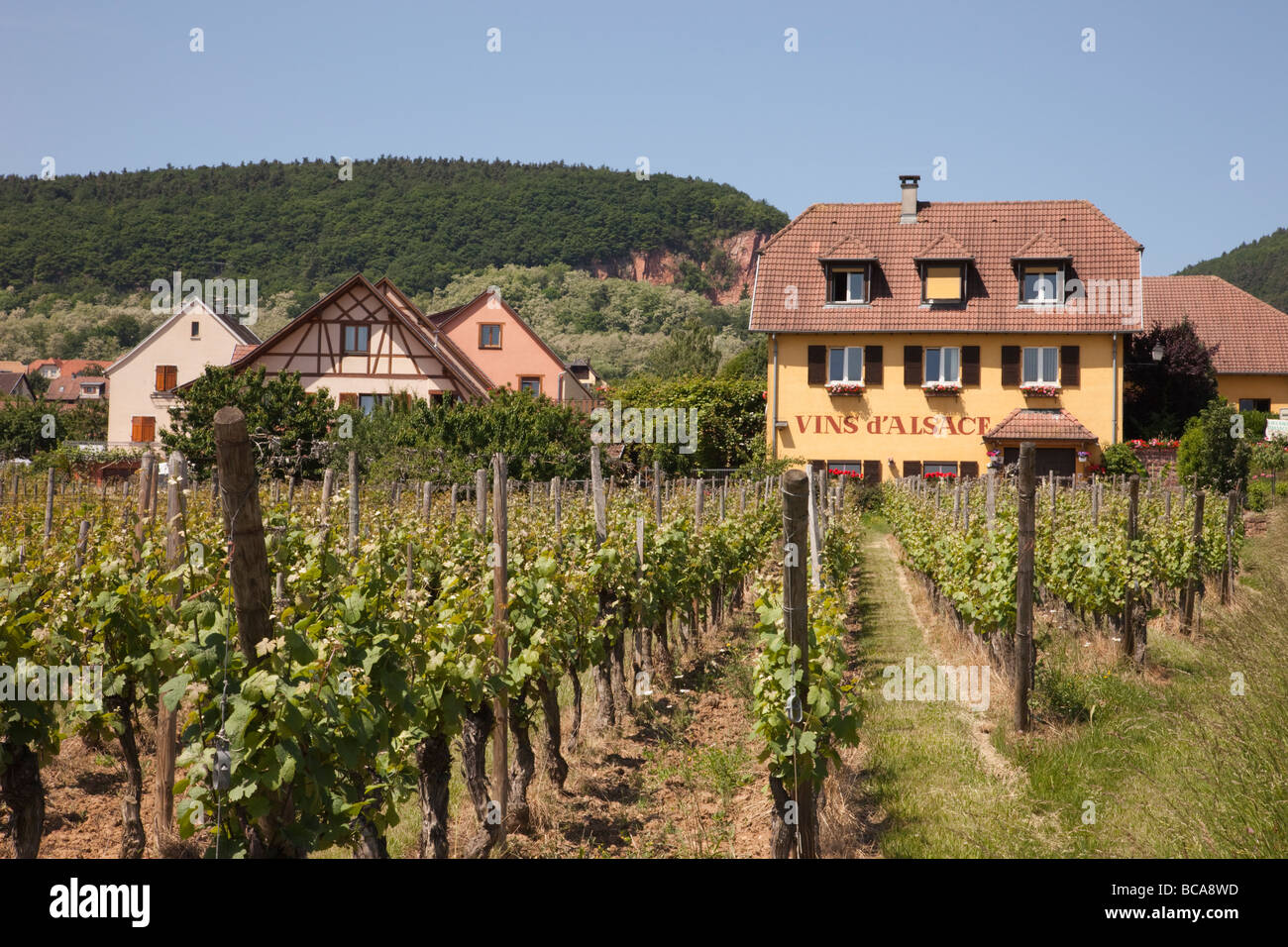 Alsace France Europe Vins de Alsace grapevines growing in a vineyard on the wine route - Stock Image